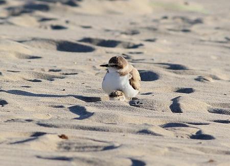 Uccello fratino in spiaggia